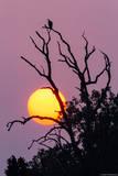 Indian Vulture Sunset print