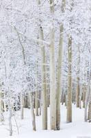 Winter Aspens print
