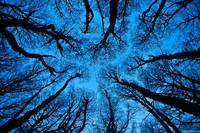 Winter Lenga Trees