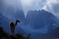 Guanaco and Torres print