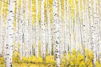 Aspen Grove Autumn print