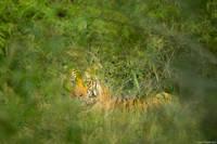 Crouching Tiger print