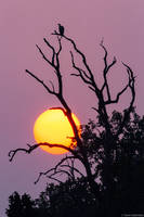 Indian Vulture Sunset print
