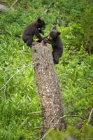 Black Bear Cubs Playing print