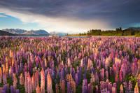Tekapo Wildflowers