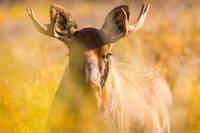 Young Moose print