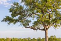Leopard in Tree print