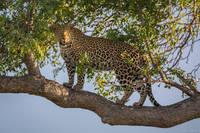 Leopardess  print