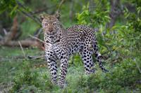 Male Leopard print