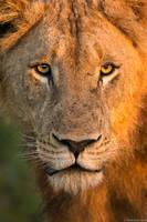 Lion Dawn print