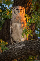 Verreaux's eagle-owl print