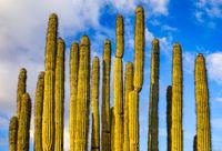 Organ Pipe Cactus print