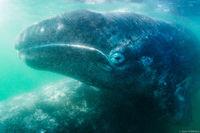 Gray Whale Calf print