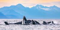 Humpback Whales print
