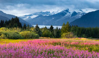 Juneau Wildflowers print