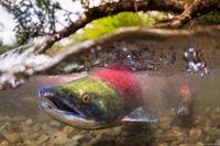Spawning Salmon print