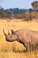 Black Horned Rhino Profile print