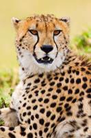 Cheetah Portrait print