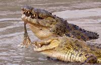 Croc Kill print