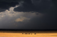 Elephants and Approaching Storm