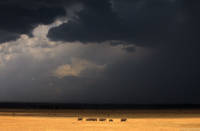 Elephants and Approaching Storm print