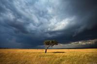 Lone Acacia Tree print