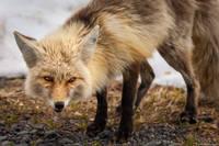 Cascade Fox print