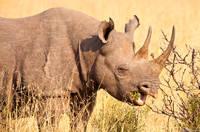 Black Horned Rhino  print