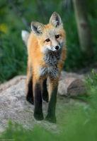 Winter Park Fox