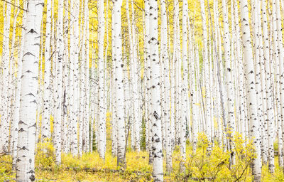 aspen, colorado, grove, autumn, usa, thick, golden, fall, season