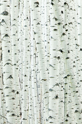 aspen, trunk, detail, trees, colorado,