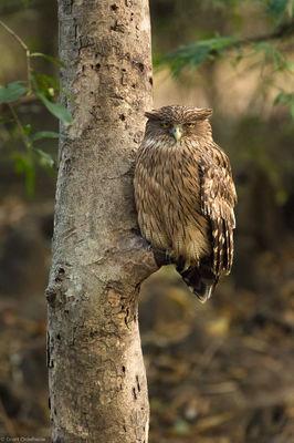 brown, fish, owl, branch, bandhavgarh, national, park, india