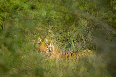 crouching, tiger, bandhavgarh, national, park, india, male, concentration, highest, endangered, bengal