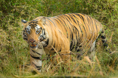 wild, tiger, bengal, bandhavgarh, national, park, population, declined, tigers, captive, zoos, indian, government, prese