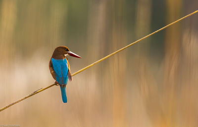 kingfisher, bandhavgarh, national, park, reeds, bird, india,