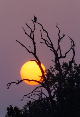 indian, vulture, sunset, bandhavgarh, national, park, india, old, tree, sun