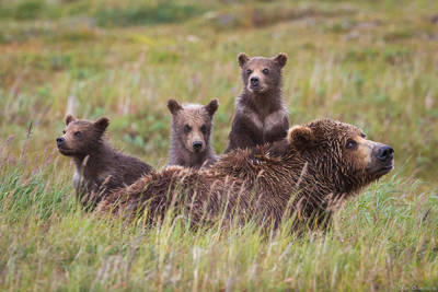 alaska, bear, brow, katmai, national park, usa, preserve, curious, three, cubs, sleepy, mother,
