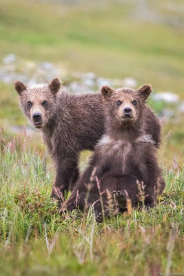 alaska, bears, brown, bear, katmai, national park, usa, preserve, young, pair,