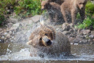 Alaksa, bear, katmai, national park, usa, preserve, shake, mother, brown, water, diving, salmon, cubs, background
