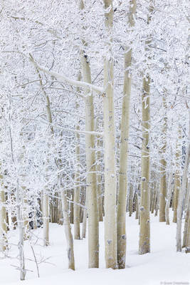 winter, aspens, steamboat, springs, colorado, usa, freshly, frosted, trees,