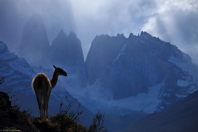 guanaco, torres, loen, stands, ridge, iconic, towers, del, paine, national, park, chile
