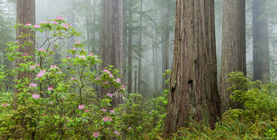 damnation, creek, fog, rhododendrons, redwoods, trail, del, norte, coast, redwoods, state, park, california, usa