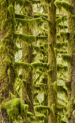 mossy, trees, hoh, rainforest, olympic, national, park, washington, moss, covered,