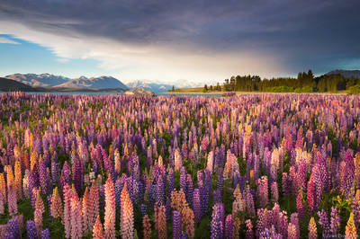 tekapo, wildflowers, lake, new, zealand, field, russell, lupines, south, island,