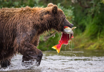 catch, keep, katmai, national, park, preserve, alaska, usa, peninsula, brown, bear, ursus arctos horribilis, sockeye, salmon, oncorhynchus nerka,