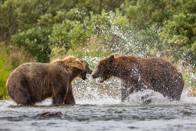 ursus arctos horribilis, usa, territorial, bears, alaska, katmai, national, park, preserve, usa, brown, alaska, peninsula,