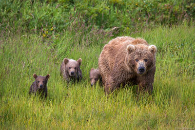 bear, family, katmai, national, park, preserve, alaska, usa, peninsula, bears, ursus arctos horribilis,