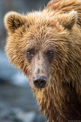 alaska, bear, brown, katmai, national, park, usa, preserve, portrait, young