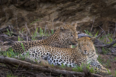 leopard, love, sabi, sands, south, africa, two, mating, safari, game, reserve,