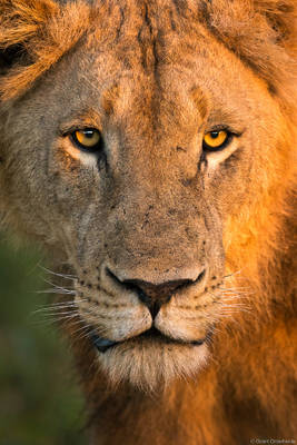 lion, dawn, sabi, sands, south, africa, early, morning, light, face, teenage, male,